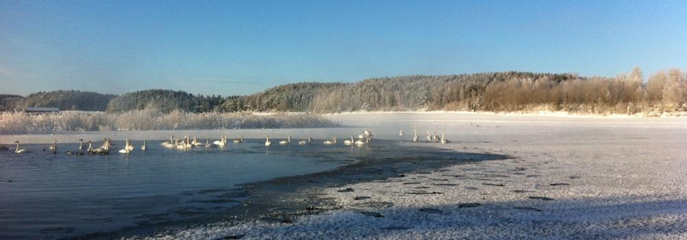 vinter-svanar-2