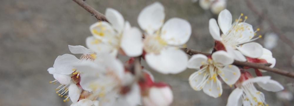Aprikosblomma-liten-kopia
